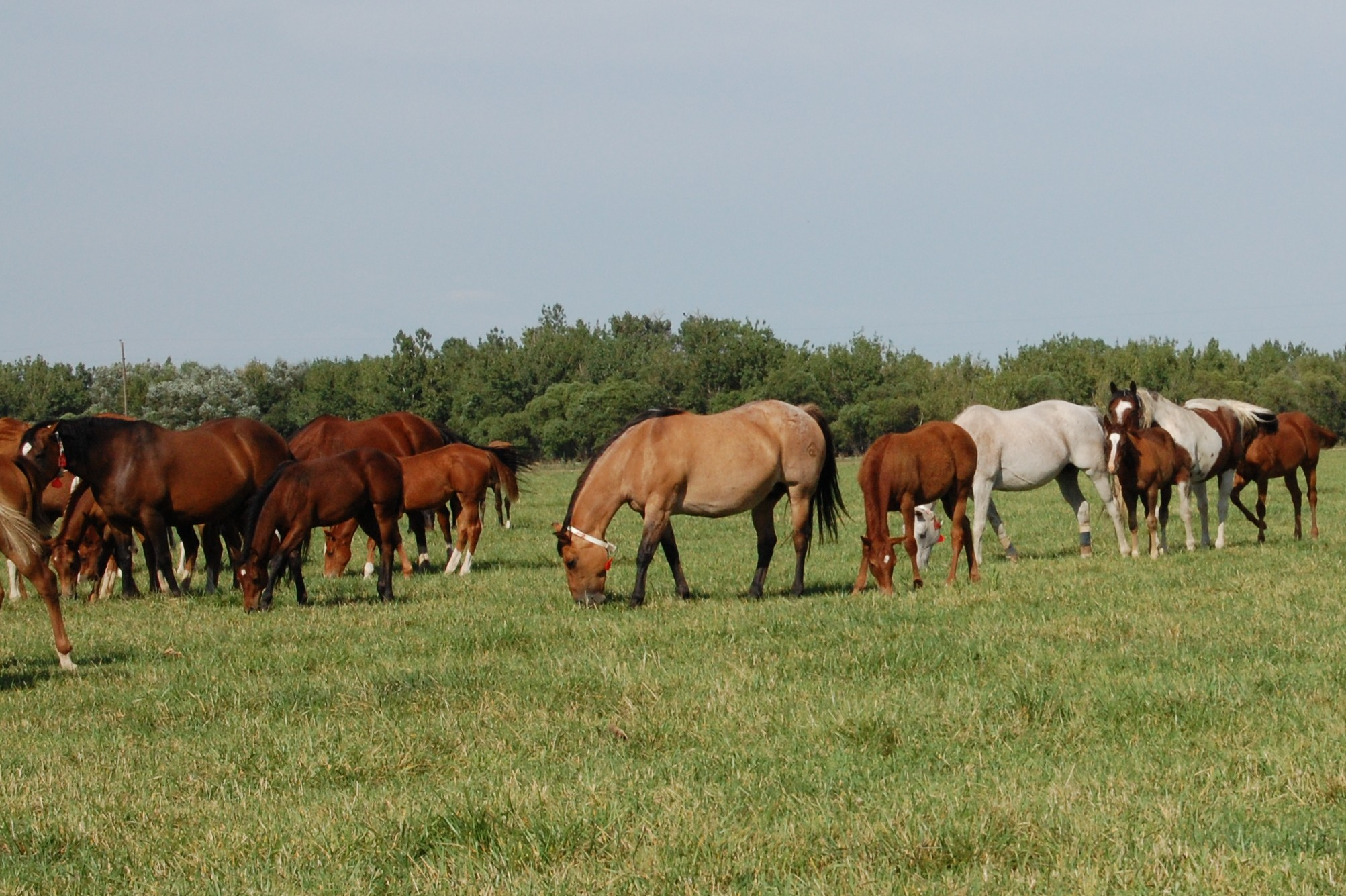 Recipient Mares and Foals